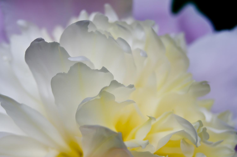 p-flores
